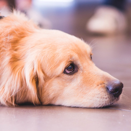 Service dog at event